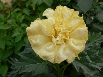 yellow double datura